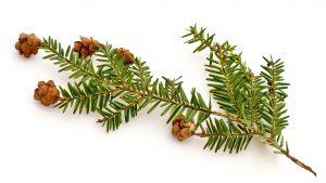 Eastern hemlock branch with pinecones